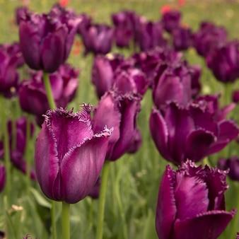 Gros plan de tulipes violettes.