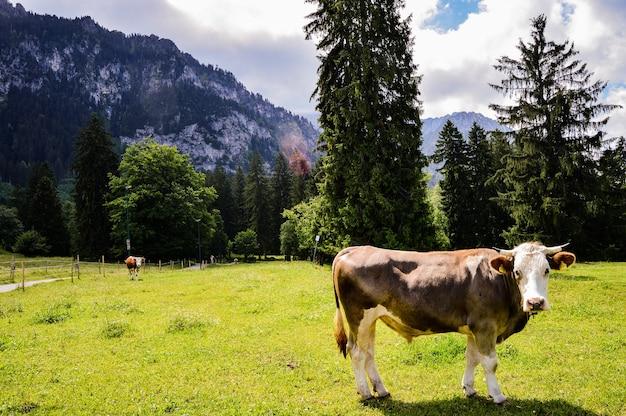 Gros plan d'une vache sur un pré vert sur fond de montagnes