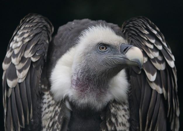 Gros plan d'un vautour fauve, un oiseau de proie