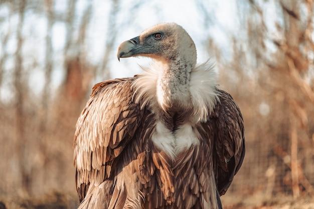 Gros plan d'un vautour à la recherche féroce