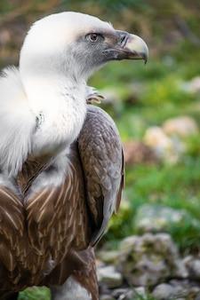 Gros plan d'un vautour sur le terrain avec des yeux vigilants