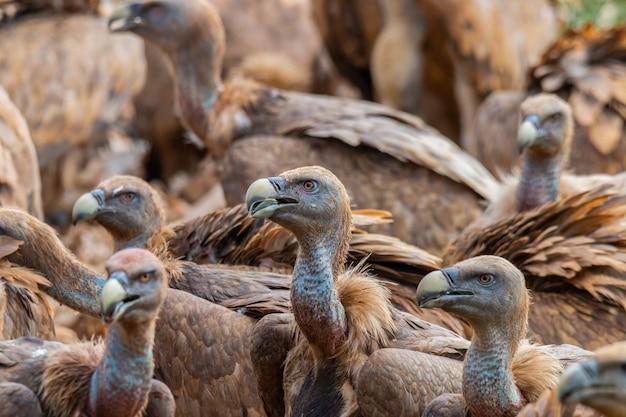 Gros plan de vautours fauves, deuxième plus grand oiseau d'europe