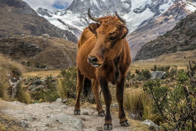 Gros plan d'un veau majestueux sur un terrain surélevé avec des montagnes et des plantes autour