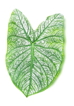 Gros plan de la veine verte des feuilles blanches de caladium isolé sur fond blanc, un tracé de détourage.