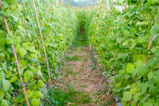 Gros plan, vert, haricot, jardin