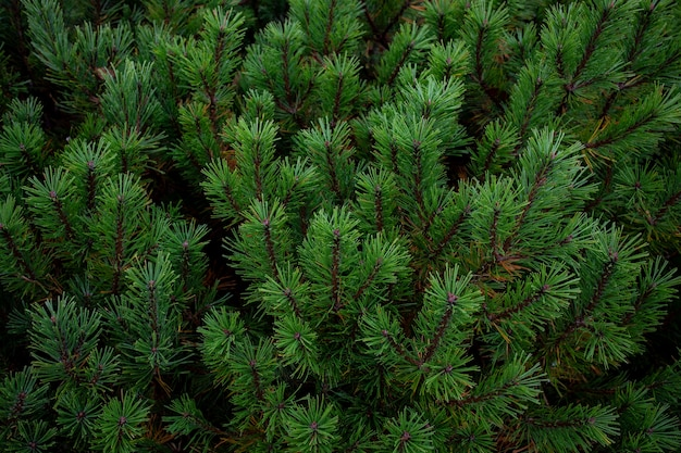Gros plan, vert, pin, feuilles, usu, pic, showa-shinzan, montagne, hokkaido, japon
