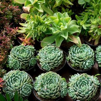 Gros plan, de, vert, succulentes, plantes, juarez, parc, zona, centre, san, miguel, allende, guanajuato, mex
