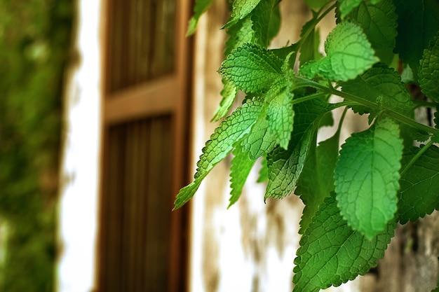Gros plan, de, vert, vigne, feuilles, sur, vieux, brique blanche, mur, et, fenêtre bois