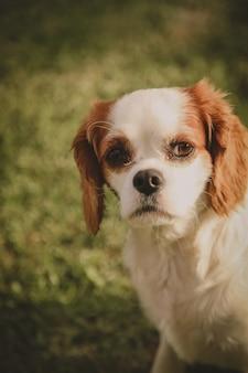 Gros plan vertical d'un adorable chien cavalier dans un champ