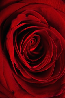 Gros plan vertical d'une belle rose rouge