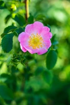 Gros plan vertical d'une belle rose sauvage rose