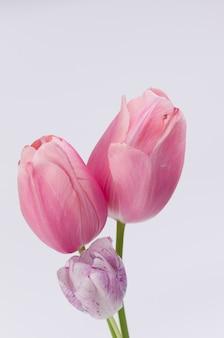 Gros plan vertical de belles tulipes roses sur fond blanc