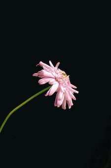 Gros plan vertical d'un chrysanthème rose isolé sur fond noir