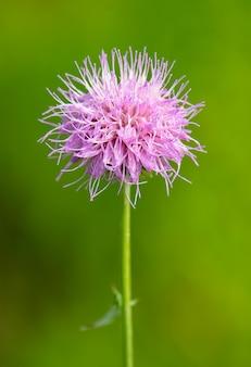 Gros plan vertical d'une fleur de chardon de lance rose