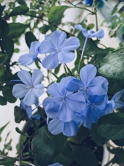 Gros plan vertical d'une fleur de pervenche bleue