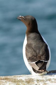 Gros plan vertical d'un petit pingouin perché sur un rocher