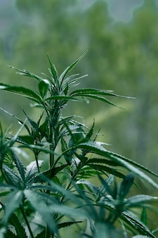 Gros plan vertical d'un plant de cannabis vert