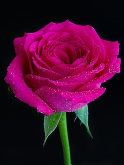 Gros plan vertical d'une rose rose avec de la rosée