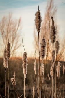 Gros plan vertical de roseaux communs sous la lumière du soleil