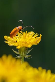 Gros plan vertical d'un scarabée orange sur un pissenlit jaune vif