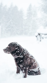 Gros plan vertical sélectif tourné d'un chien labrador retriever brun dans la neige