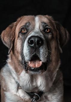 Gros plan vertical tiré d'un mignon chien saint-bernard bâillement avec un mur noir