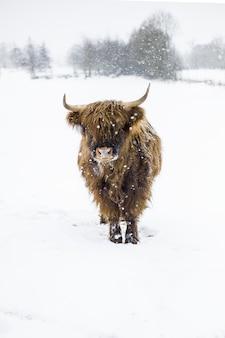 Gros plan vertical tourné d'un bison debout dans le champ enneigé pendant le flocon de neige