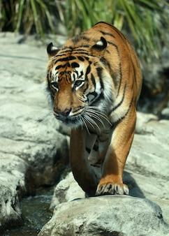 Gros plan vertical tourné d'un tigre sur les rochers au zoo d'auckland