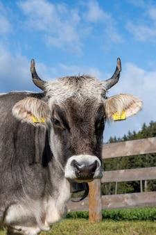 Gros plan vertical d'une vache dans une ferme regardant la caméra