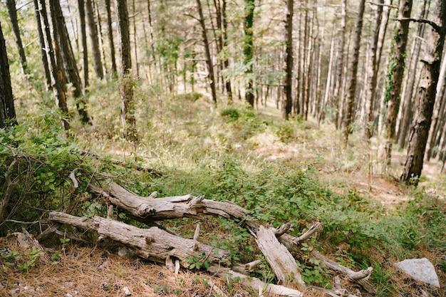 Gros plan de vieilles branches sèches au sol sur fond d'herbe et de troncs d'arbres