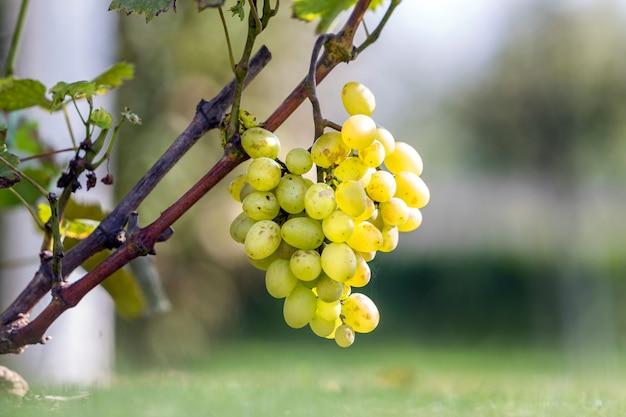 Gros plan, de, vigne, branche, à, feuilles vertes, et, doré jaune mûr, isolé