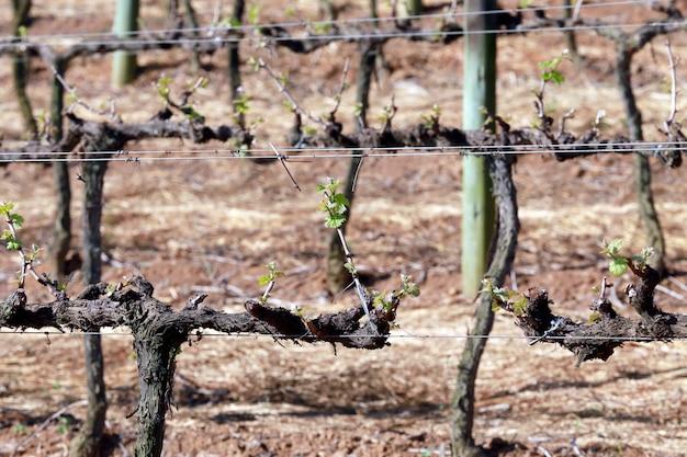 Gros plan de la vigne en période de repos
