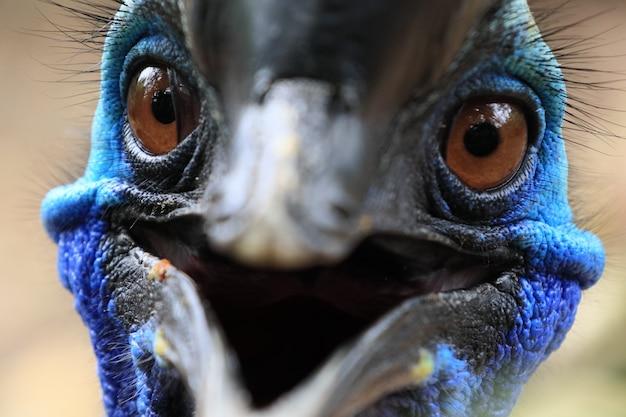 Gros plan visage de belle cassowary bird ont une couleur bleue vif. le bec ressemble à un sourire