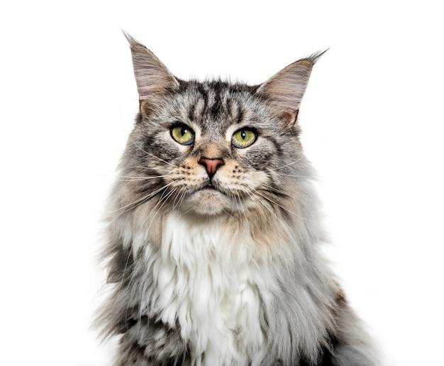 Gros plan sur un visage de chat coon principal, isolé sur blanc