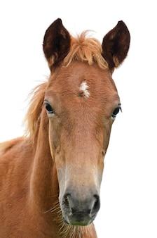 Gros plan d'un visage de cheval, devant la tête de cheval brun sur fond blanc isolé