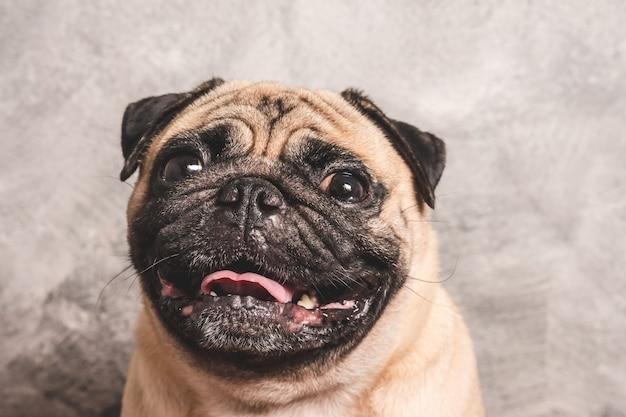 Gros plan visage de chien mignon carlin