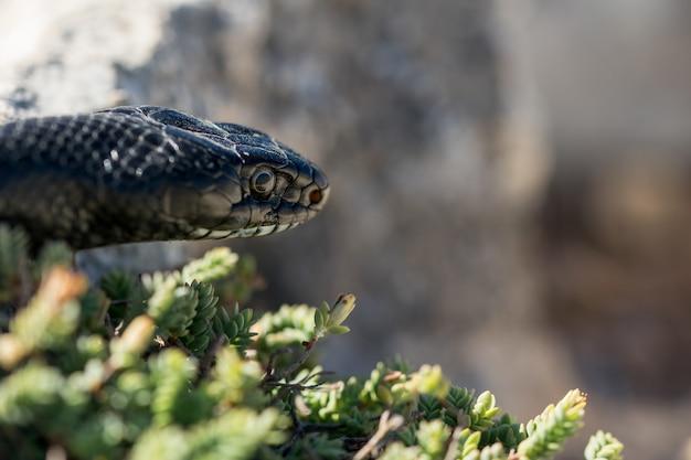 Gros plan sur le visage d'un serpent noir western whip adulte