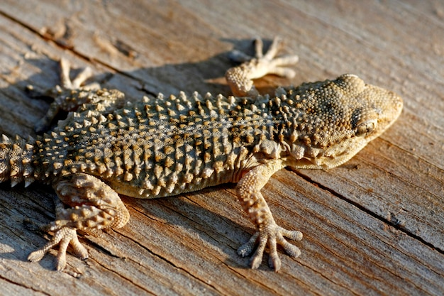 Gros plan voir le gecko européen commun sur une planche de bois.