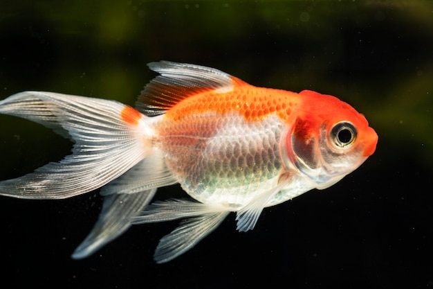 Gros plan vue de face orange belle betta poisson isolé fond noir