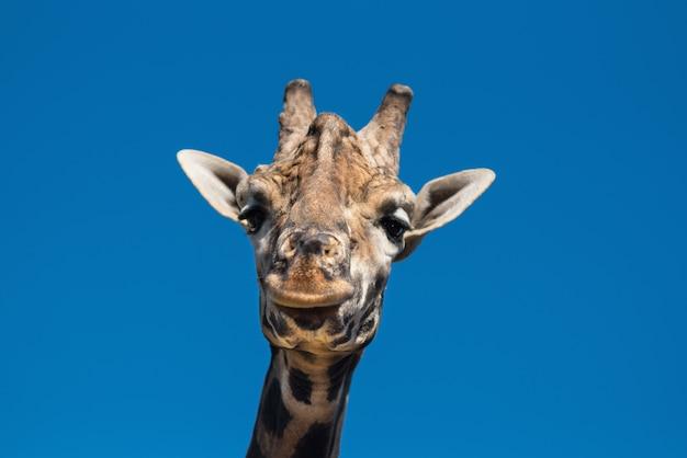 Gros plan, vue, girafe