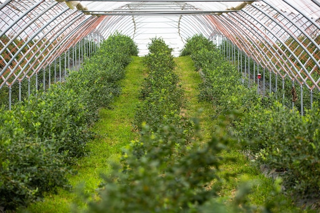 Gros plan d'une vue sur les serres, la ferme de bleuets avec beaucoup de bleuets frais, concept alimentaire