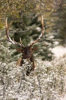 Gros plan d'un wapiti au repos, d'un animal et d'un paysage naturel hivernal