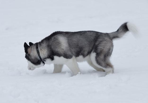 Gros plan sur les yeux bleus d'un beau chien husky. chien husky sibérien à l'extérieur. portrait de husky sibérien dans la nature en hiver.