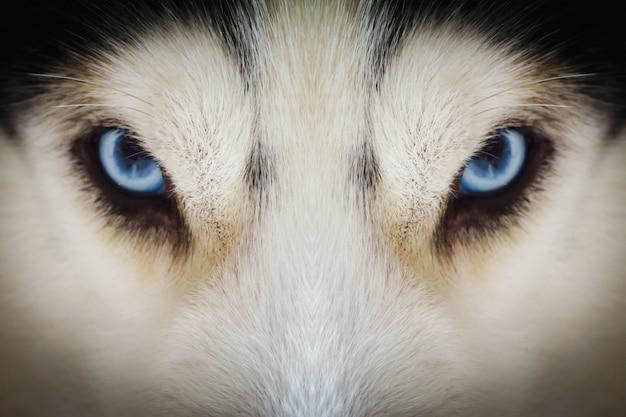 Gros plan sur les yeux bleus d'un chien husky avec vignette