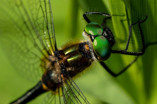 Gros plan des yeux d'une libellule