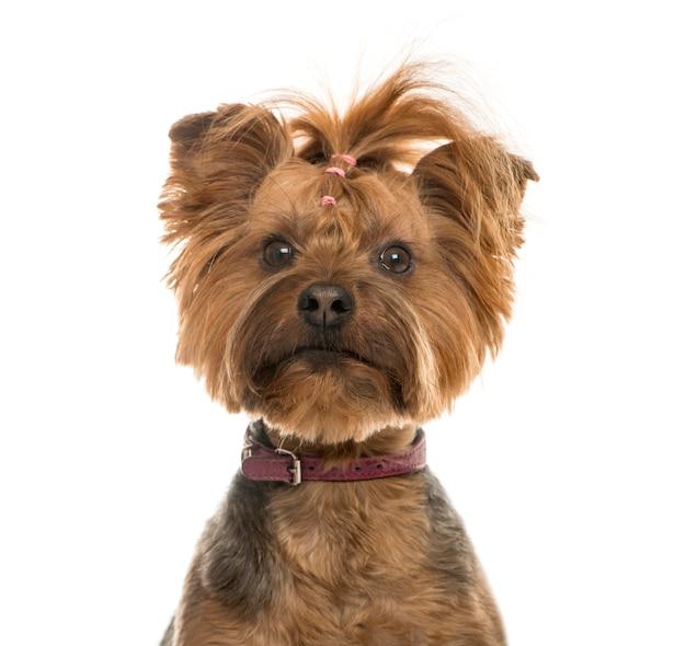 Gros plan, de, a, yorkshire terrier, isolé, blanc