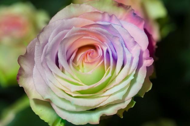 Gros plans d'une belle rose multicolore.