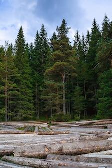 Gros tas de troncs d'arbres massifs à côté de la forêt pendant l'automne
