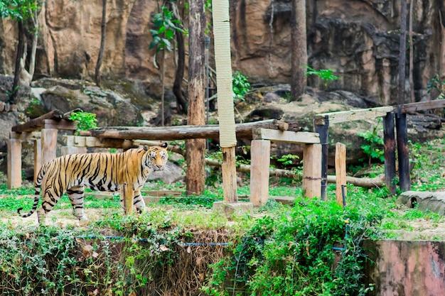 Un gros tigre marchait dans une cage.