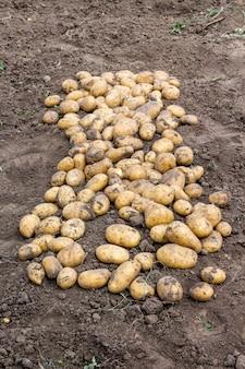 Gros tubercules de pomme de terre au sol